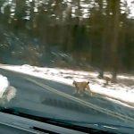 Ryś w samochodowej kamerze. Dziki kot spacerował między Szymanami a Szczytnem