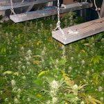 Plantacje konopi w powiecie ostródzkim. Dwie osoby aresztowano. Czarnorynkowa wartość narkotyków to ponad 300 tysięcy złotych