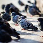 """Uwaga na ptaki przy docieplaniu budynków. """"Dostajemy informacje o ptakach zamurowanych w szczelinach"""""""