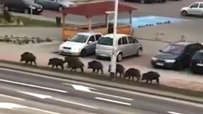 Кабаны снова гуляют по Ольштыну