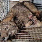 Niepewne losy wilka uratowanego z wnyków zastawionych przez kłusownika. Weterynarze nie wykluczają amputacji łapy