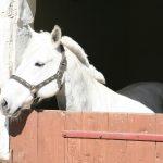Skradzione konie z Niemiec odnalazły się w podolsztyńskim gospodarstwie