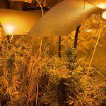 Nielegalna uprawa konopi w Giżycku. Policja zabezpieczyła profesjonalną plantację i susz