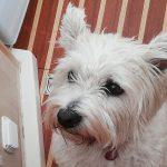 Pies wyłowiony na środku jeziora Mamry trafił do właścicieli. Pomogła w tym informacja o szczepieniu
