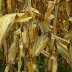 Suszą dotkniętych jest 1,8 mln ha gruntów rolnych. Najbardziej brakiem wody zagrożona jest kukurydza