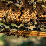 """""""Warroza demoluje nam ule"""". Naukowcy i pszczelarze zjednoczyli się, żeby znaleźć sposób na chorobę atakującą pszczoły"""