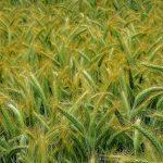 Susza, grad, huragan, przymrozki. Ponad 930 gospodarstw zgłosiło szkody w uprawach w związku ze zjawiskami pogodowymi