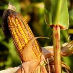 Susza zbiera coraz większe żniwo. W gminie Biała Piska odnotowano straty w uprawach kukurydzy