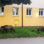 Dziki na ulicach Olsztyna i obwodnicy miasta. W tym tygodniu ruszy akcja ich usypiania