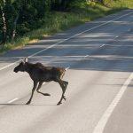Uwaga na łosie. Specjalne tablice ostrzegają kierowców przed dziką zwierzyną