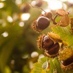 Elbląskie kasztanowce wygrały walkę ze szrotówkiem. Drzewa owijane są folią, pod którą jest substancja wabiąca szkodniki