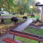W Olsztynie odłowiono 17 dzików. Plan zakłada uśpienie 100 zwierząt