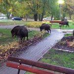 Pierwsze dziki w Olsztynie zostały uśpione. Zwierzęta grasują na ulicach miasta