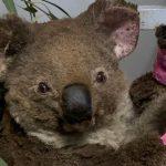 Uczniowie z Gołdapi adoptowali… misia koalę. Zwierzę ucierpiało w pożarach pustoszących Australię