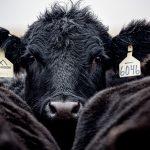 Zmalał eksport polskiej wołowiny do Włoch. W związku z koronawirusem Włosi ograniczają import