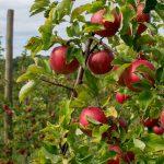 Produkcja jabłek i gruszek w Unii Europejskiej jest zagrożona