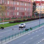 Dziki przeprowadziły się do Olsztyna. Problem nasilił się w czasie epidemii koronawirusa