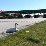Nietypowy podróżny na przejściu w Grzechotkach. Funkcjonariusze pomogli choremu łabędziowi
