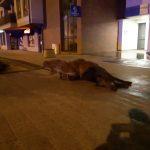 W centrum Olsztyna dwa auta wjechały w stado dzików. Osierocone młode przygarnęła inna samica