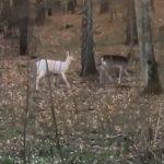 Koza czy daniel albinos? Zobacz film nagrany przez mieszkankę okolic Olsztyna