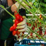 """Są wytyczne dla producentów rolnych zatrudniających sezonowo cudzoziemców. """"Najważniejsze jest bezpieczeństwo"""""""