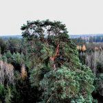Ma ponad 300 lat i 40 metrów wysokości. Gruba Kaśka walczy o tytuł Drzewa Roku