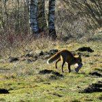 Jak lis pokrzyżował plany fotograficzne