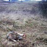 Nietypowa interwencja dzielnicowych z Orzysza. Policjanci uratowali… wilka