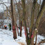 W miejsce wyciętego drzewa pojawią się dwa nowe. To jeden z ważniejszych elementów budowy linii tramwajowej