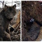 Leśnicy uratowali wilka uwięzionego we wnykach. Teraz szukają kłusownika