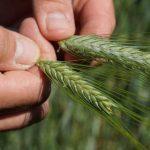 Trwają Dni Pola. Rolnicy i naukowcy działają wspólnie na rzecz rozwoju rolnictwa