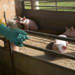 Ruszyła pomoc dla rolników, którzy tracą finansowo na afrykańskim pomorze świń