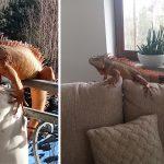 Nazywa się Julian i ma prawie 2 metry. Pod Olsztynem zaginął legwan