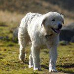 Psy pomogą hodowcom strzec owce przed wilkami. Pierwsze owczarki podhalańskie trafiły na Warmię i Mazury