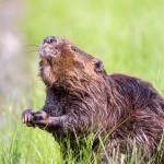 Rocznie na Warmii i Mazurach będzie odstrzelonych 590 bobrów