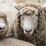 Hodowcy owiec z Warmii i Mazur otrzymają psy pasterskie. Owczarki mają chronić stada przed wilkami
